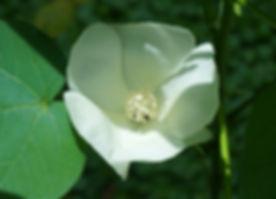 Cotton Flower