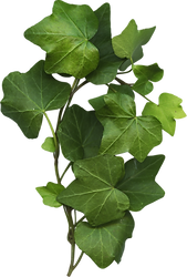 common-grape-vine-leaf-common-ivy-plant-