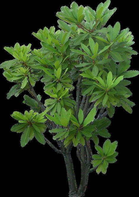 tree-shrub-plant-evergreen-garden-tree-p