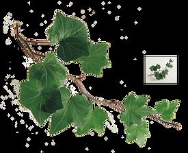 branch-common-ivy-leaf-vine-twig-leaf-e7