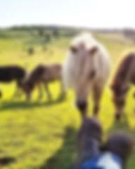 Relaxing in the fiel wth miniature horses