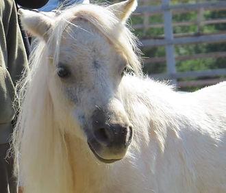 Miniature Horse Hope Skills Development for people