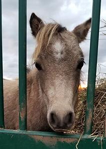 Visit a Miniature Horses in PEI