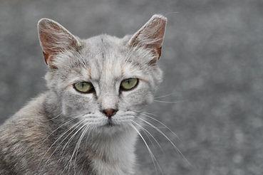 sad-gray-kitty-madcats.jpg