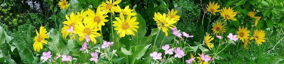 Wildflowers of Wyoming