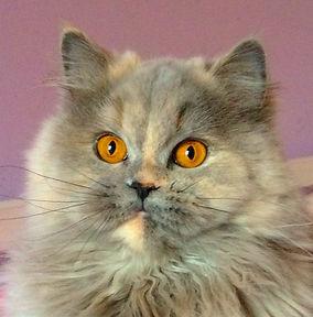 Little Feline of rising fame blue-tortie