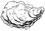 Crassostrea gigas - Pacific oyster