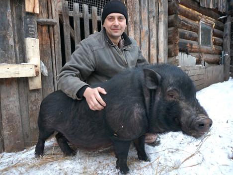 Лучше свинки нет скотинки!