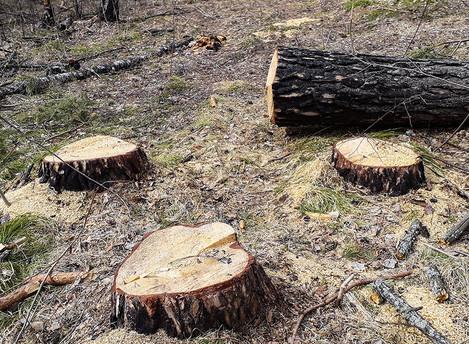 Ёлки, палки, лес пустой...