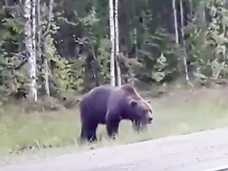 Соседи-медведи