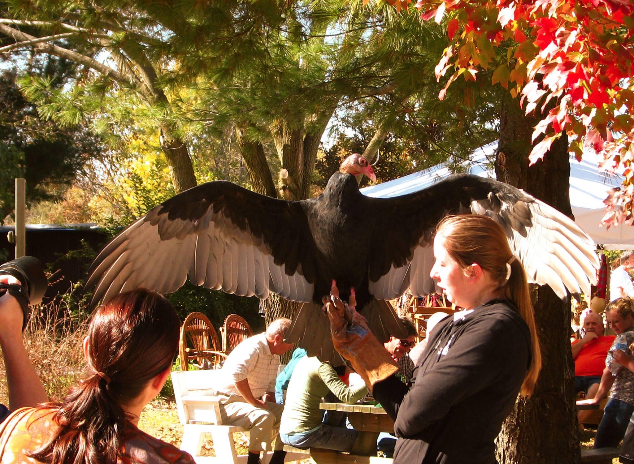 Einstein the Turkey Vulture