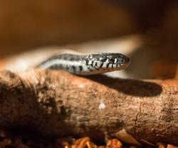 Slinky the Plains Garter Snake