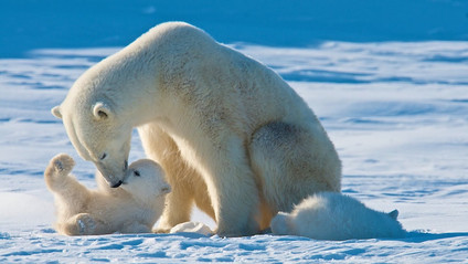 Polar Bears could die out by the year 2100