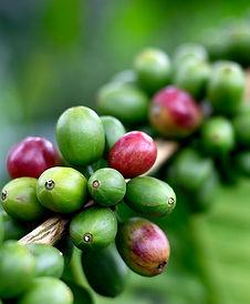 ULU Coffee Cherries.jpg