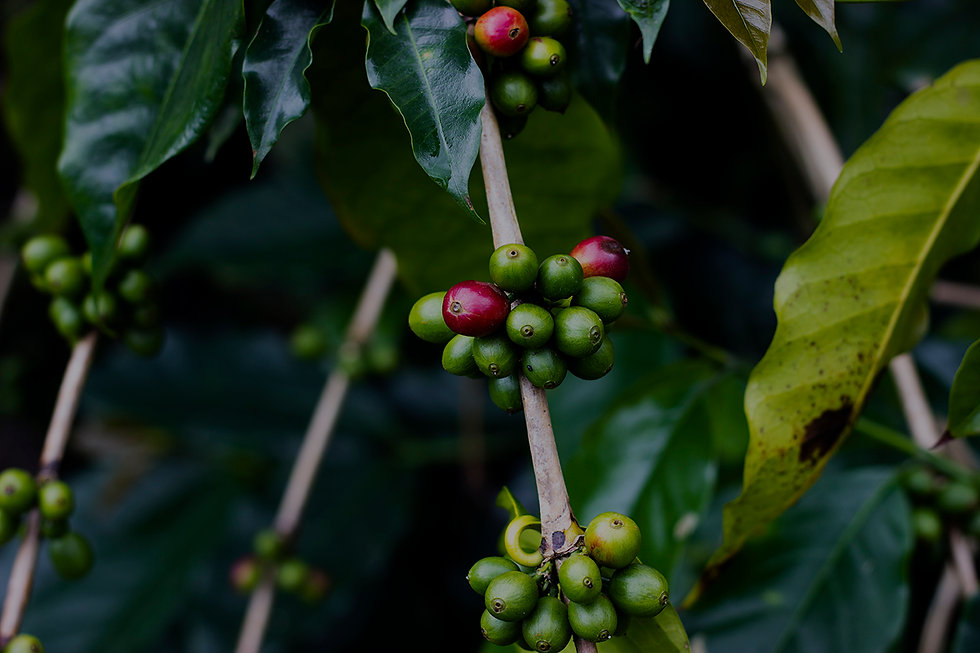 ULU Coffee Cherries Header Image.jpg