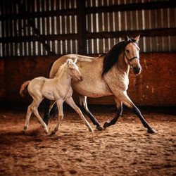 This incredible #perlino #cream #isabel #lusitano #colt is also #forsale !__6,500 CAD - lusitano col