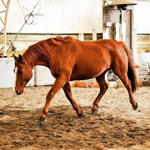 This handsome devil is available for lease at #caprioleacademy !__A lovely, smart, soft #gelding who