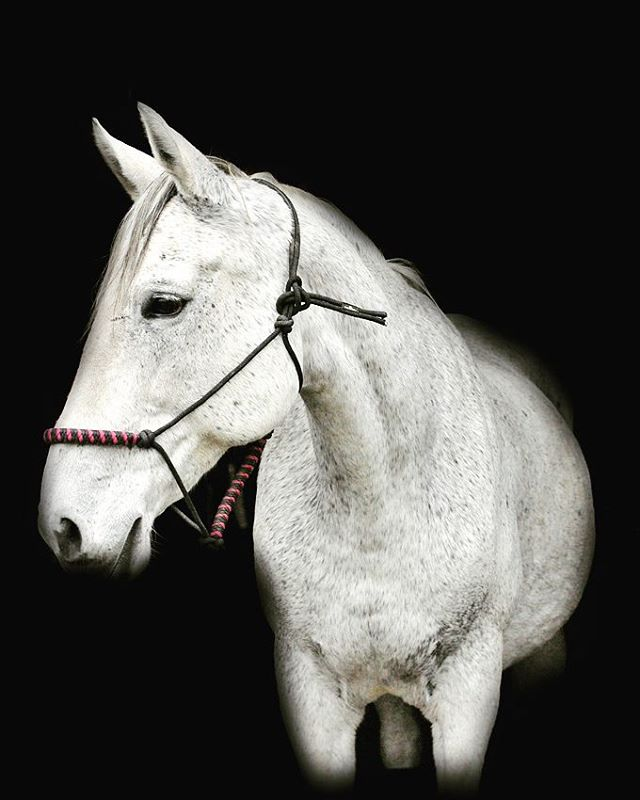 My #hearthorse Gabi. The magnificent #lipizzan X #thoroughbred mare. All her flea bitten spots are h