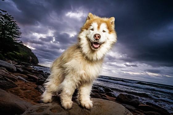Pet Photography Avalon Beach - Indigo th