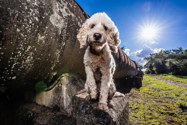 Sydney Pet Photography - Spoodle Scully