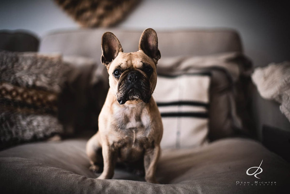 Pet Photography Narrabeen Frenchie Luna-