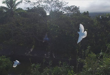 Doves_Fyling.JPG