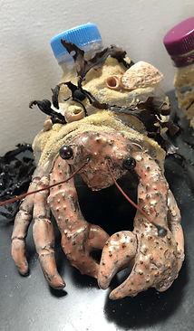 'Hermit Crab1'