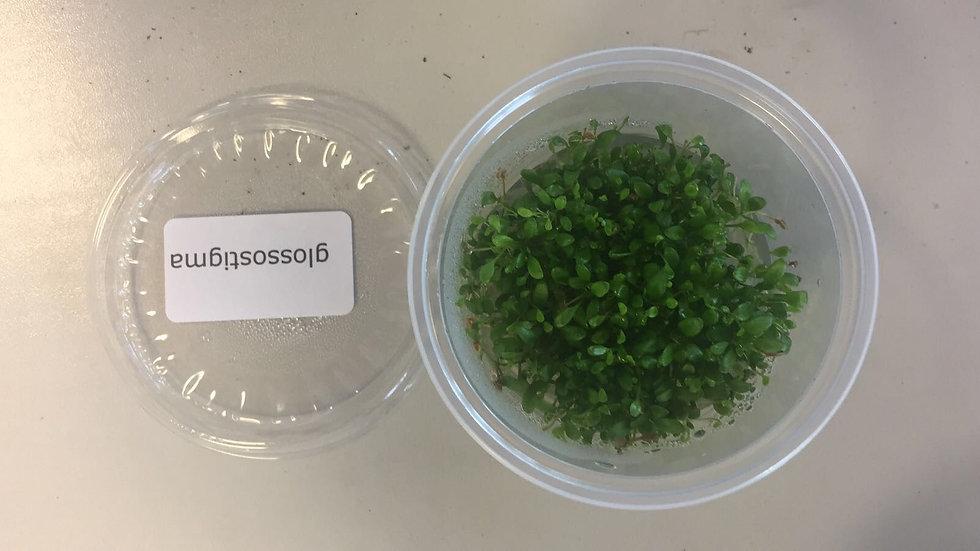 InVitro Glossostigma elatinoides