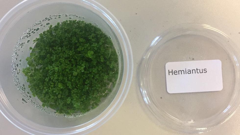 InVitro Hemianthus callitrichoides Cuba micranthemoides