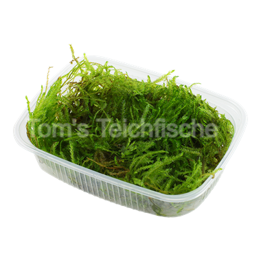 Taxiphyllum 'Spiky'