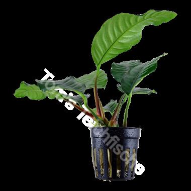 Anubias barteri 'Coffeifolia'