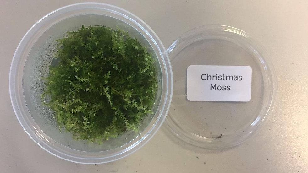 InVitro Vesicularia montagnei Christmas moss