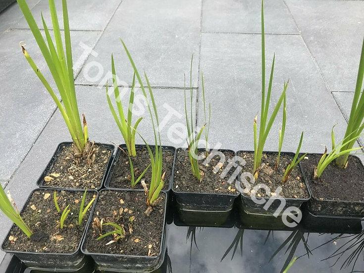 Verschiedenfarbige Schwertlilie - Sumpfiris
