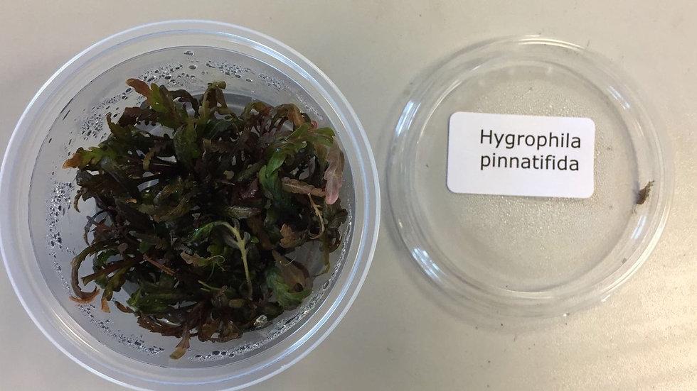 InVitro Hygrophila pinnatifida