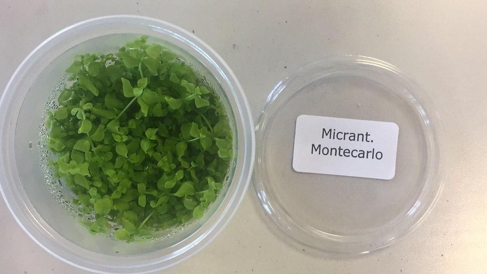 InVitro Micranthemum Monte Carlo