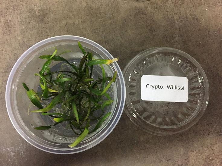 InVitro Cryptocoryne x willisii