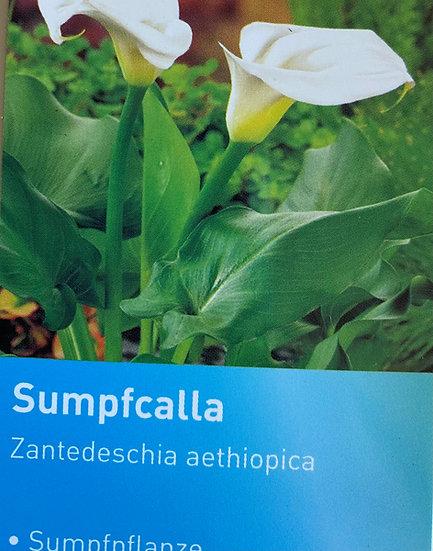 Sumpfcalla