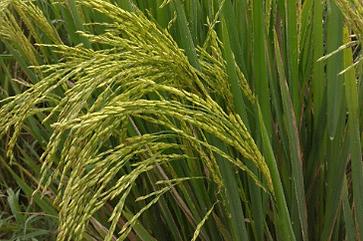 Mysoore Malliga rice