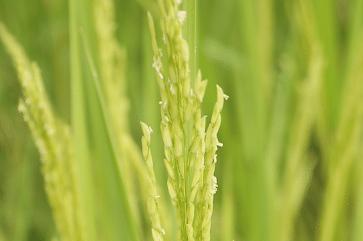 Dudheshwar rice