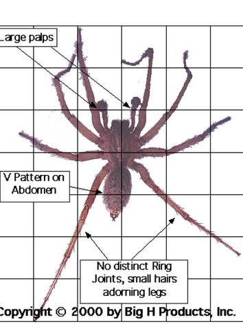 Hobo Spider traps - Big H Hobo Spider.jp