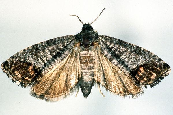 Codling Moth.jpg