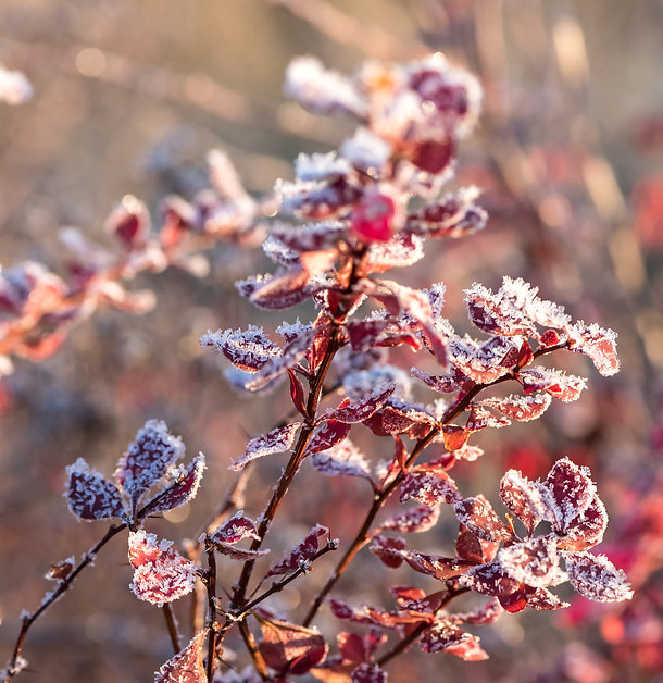 Barberry with frost.jpg