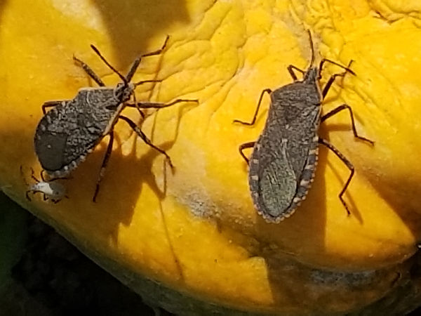 Insects - Squash Bugs (3).jpg