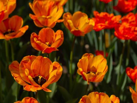 Plant Spring Bulbs Now!
