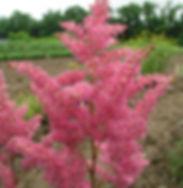 Perennials - Astilbe, Rheinland (2).jpg
