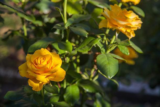 Rose in bloom #2.jpg