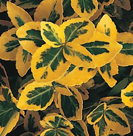 Euonymus, Emerald 'n Gold (4).jpg