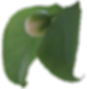 Snuffbox leaves.png