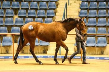 Scintiller in the Newmarket Sales Ring