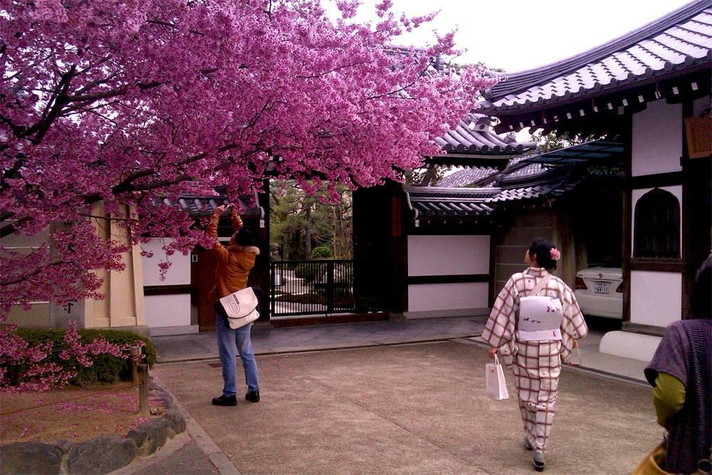 Ume prunier japonais hanami